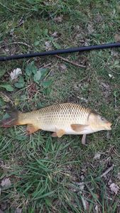 Common Carp — Régis Louyer