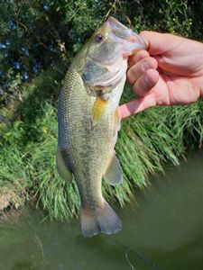 Largemouth Bass — Anthony Bonneau