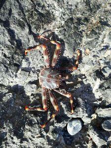European Spider Crab — Manoa Ojeda Le Morzadec
