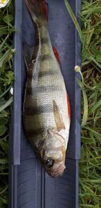 European Perch — Vir Ginie