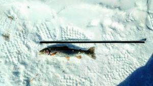 Rainbow Trout — Fish Finder