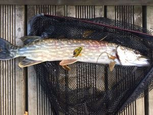 Northern Pike — Nico S.