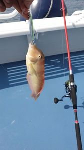 Peacock Razorfish — Thibault  Dominguez