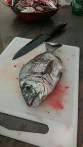 Common Two-banded Seabream — Grégoire Harmelle
