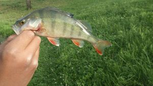 Yellow Perch — Younes Kaid