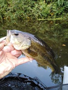 Largemouth Bass — Greg  Bonneau