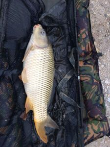 Common Carp — Dorian Perret