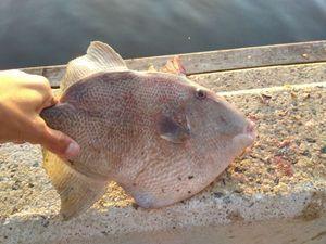 Triggerfish — Stevan _56
