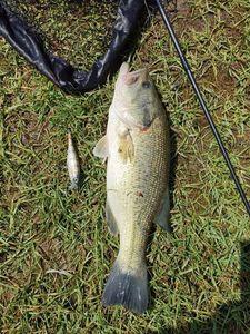 Largemouth Bass — Bubute Ferrini