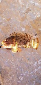 Brown Scorpionfish — Julien  Lesueur