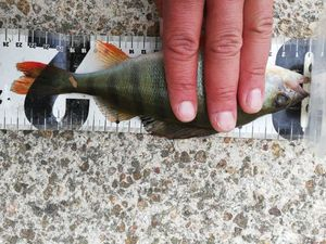 European Perch — Lucky Raph Europêche Usami Lucky John
