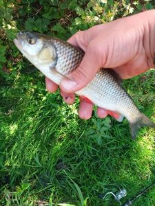 Chub — Antho Toteamfishing