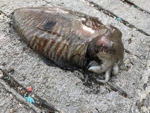 Common Cuttlefish — Pierre-yves  Saunier