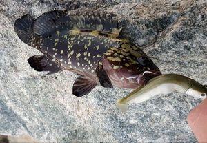 Brown Scorpionfish — Jérôme Brvs