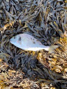 Gilthead Seabream — Greg Fishing