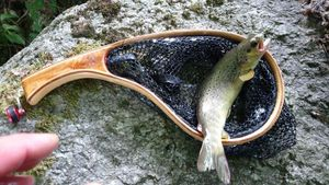 Brown Trout — Steve Mury