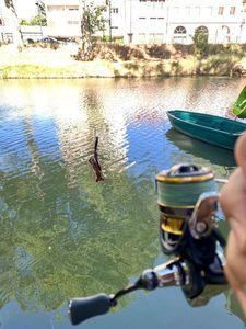 Spinycheek Crayfish — Davy D.