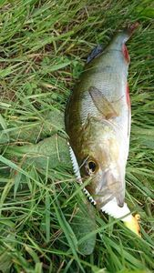 European Perch — Benoit Genu