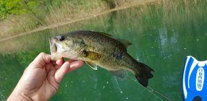 Smallmouth Bass — Romain  Laye