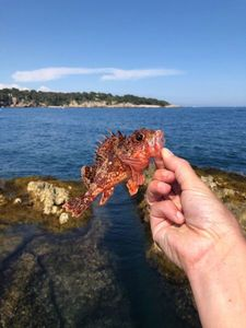 Red Scorpionfish — Ben Mayot
