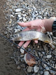 Brown Trout — Maxime Chamalet