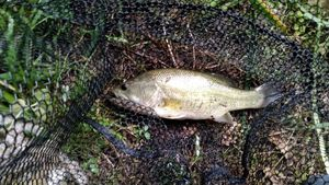 Largemouth Bass — Vincent Ponche
