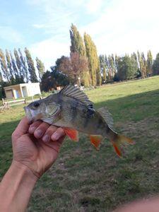 European Perch — perckarna fishing