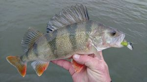 European Perch — Gael Even