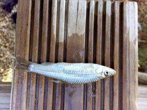 Gonjon Asiatique — les pêcheur du 11 (youtube)