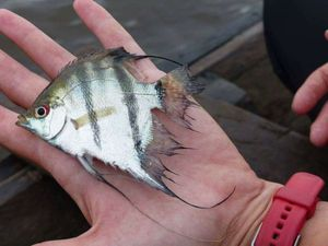 scalaire (pterophyllum scalare) — Sebcricri Fishing