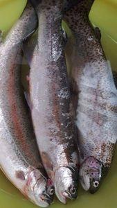 Rainbow Trout — Philippe  GODLEWSKI