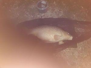 Common Carp — Pierre  Papy