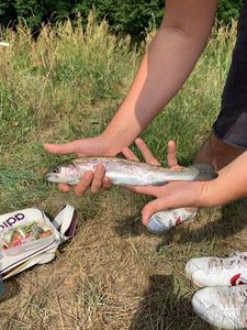 Rainbow Trout — Bell Clery