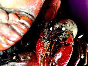 White-Clawed Crayfish — Hugo Demolliens