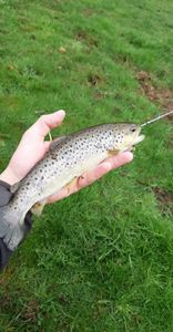 Common Trout — Samuel Brasseur