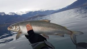 Lake Whitefish — Mickael Rdf