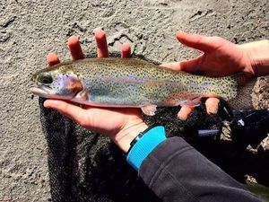 Rainbow Trout — Lilian Burnel