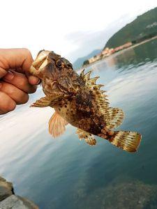 Brown Scorpionfish — Ben Benito Rockfishing
