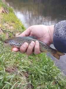 Brown Trout — PESKIE FISHING