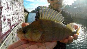 Perche Commune — Cédric Fishtique