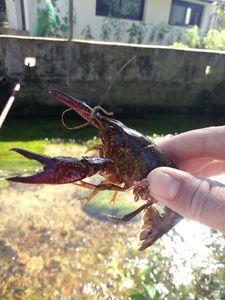Spinycheek Crayfish — Raphaël Ferreira