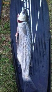 Thicklip Grey Mullet — Christouf Lepecheur