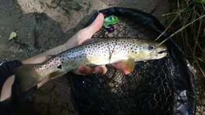 Common Trout — Samuel Pinaud