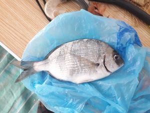 Common Two-banded Seabream — Enzo Theil