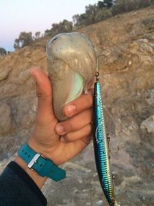 Common Cuttlefish — Fishing Porquerolles