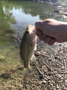 Largemouth Bass — Johann D