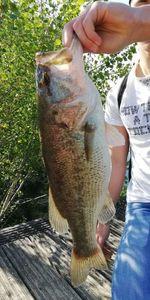 Largemouth Bass — Mathis Luneau