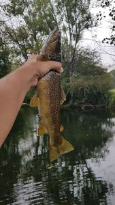 Brown Trout — Robin Basse