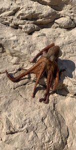 Common Octopus — Antoine Garcia