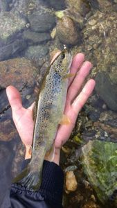 Brown Trout — Jean Argence
